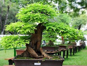 tamarind-bonsai_mini.jpg