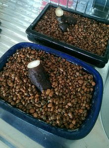 operculicarya 2%263 2017 root cuttings.jpg